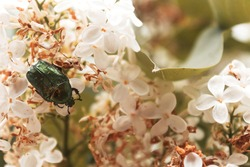 Cetonia Aurata Flower Chafer Green June Beetle Bug Insect. Golden Bronze bug among the white flowers. Selective focus.