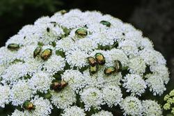 Cetonia aurata on white flower