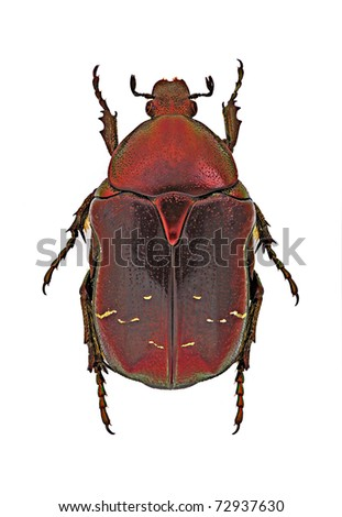 Cetonia aurata (red form) from Italy