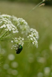 Cetonia aurata, rose chafer, green rose chafer, on a white wildflower, cow parsley