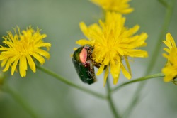 Cetonia aurata, rose chafer, green rose chafer, on a yellow wildflower