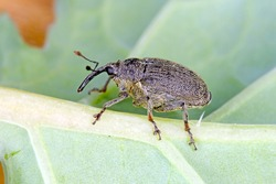 Ceutorhynchus napi weevil of beetle from family Curculionidae. This is pest of oil rape plants.