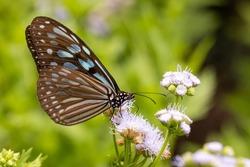 Ceylon Blue Glassy Tiger (Ideopsis similis) drinking on plant
