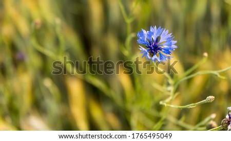 Chaber bławatek, roślina lecznicza. Pomaga w dolegliwościach z nerkami Zdjęcia stock ©