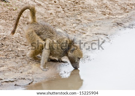 Chacma baboon at waterhole; papio cynocephalus; South Africa