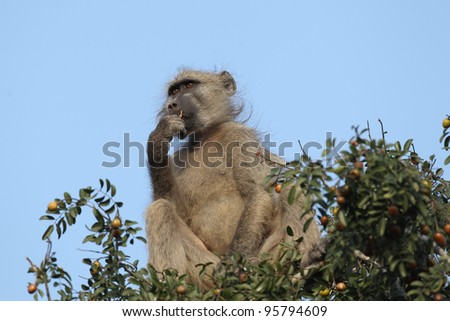 Chacma Baboon eating fruit in tree