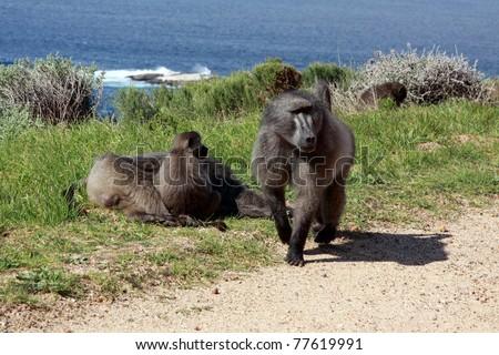 Chacma baboon (Papio cynocephalus ursinus), Kalk Bay, South Africa.