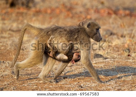 Chacma baboon (Papio hamadryas) with suckling baby, Kruger National Park, South Africa - stock photo