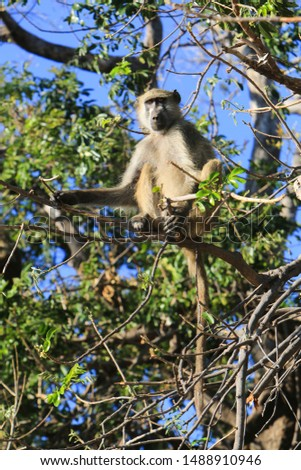 Chacma baboon (Papio ursinus), also known as the Cape baboon, in Chobe National Park, Botswana.