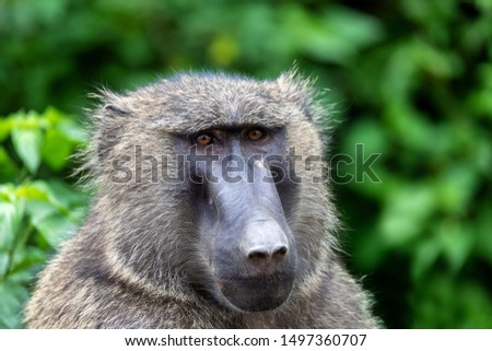 chacma baboon, papio ursinus, also known as the Cape baboon. Is strong and big african monkey. Hawassa, Ethiopia Africa wildlife