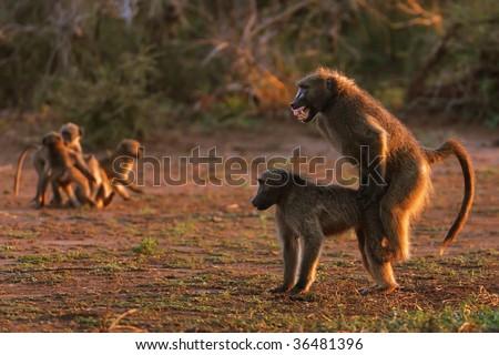 stock photo chacma baboons mating papio cynocephalus 36481396 Vintage adult paperback.