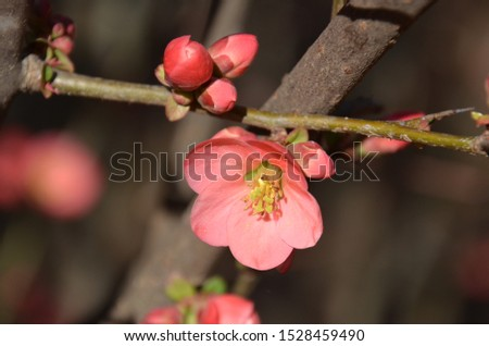 Chaenomeles speciosa, commonly known as flowering quince, Chinese quince, or Japanese quince #1528459490