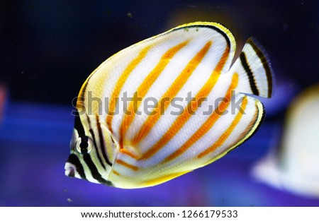 Chaetodon ornatissimus (Clown Butterflyfish, Ornate Butterfly, Ornate coral fish)