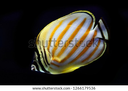 Chaetodon ornatissimus (Clown Butterflyfish, Ornate Butterfly, Ornate coral fish) #1266179536