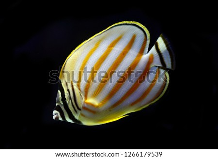 Chaetodon ornatissimus (Clown Butterflyfish, Ornate Butterfly, Ornate coral fish) #1266179539