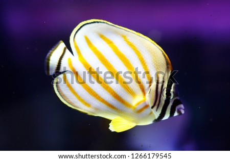 Chaetodon ornatissimus (Clown Butterflyfish, Ornate Butterfly, Ornate coral fish) #1266179545