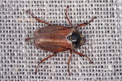 Chafer beetle on canvas insect. Insect with hard elytra, pest of tree species, hard-winged. Brown long-legged beetle