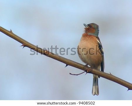 chaffinch bird singing on a spiny twig - stock photo