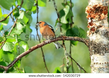 chaffinch birds of finland wildlife lakes forests of fir and birch summer flowers