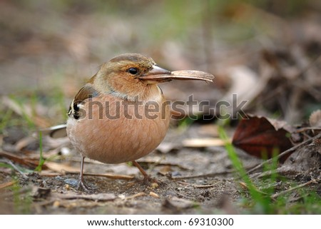 Chaffinch eating leaf on the ground