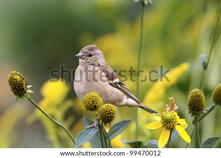 Chaffinch female sitting on flower