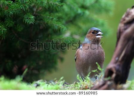 chaffinch (Fringilla coelebs) feeding in a garden