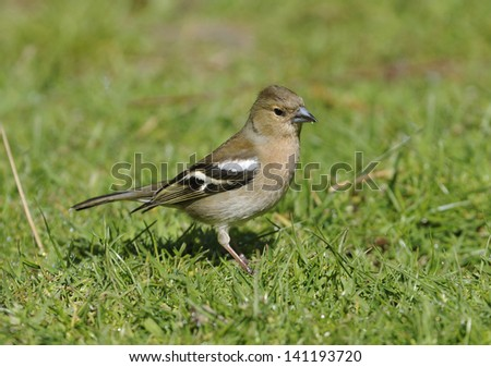 Chaffinch - Fringilla coelebs Female feeding on the ground