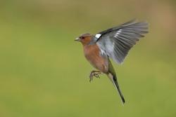 Chaffinch - Fringilla coelebs. Male bird in flight.