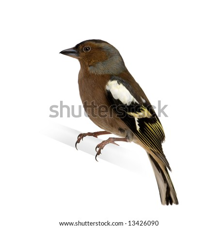 Chaffinch - Fringilla coelebs on its perch in front of a white background