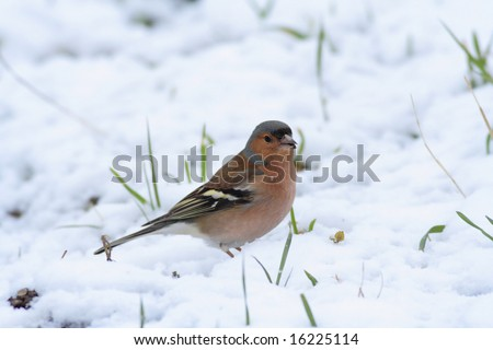 Chaffinch (Fringilla coelebs) on the ground with snow