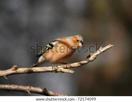 Chaffinch (Fringilla coelebs) perched on a tree branch - stock photo