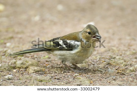 chaffinch in the ground