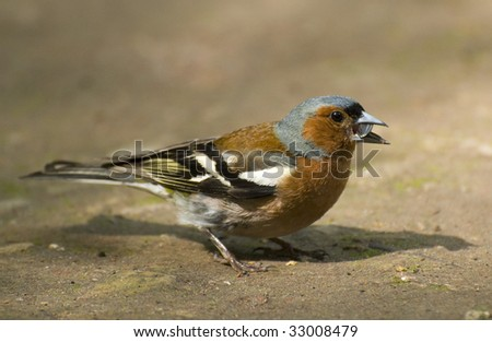 chaffinch in the ground 1