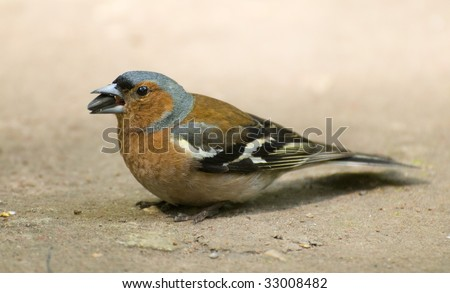 chaffinch in the ground 2 - stock photo