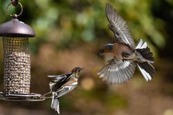 Chaffinch Male and Female on Bird Feeder