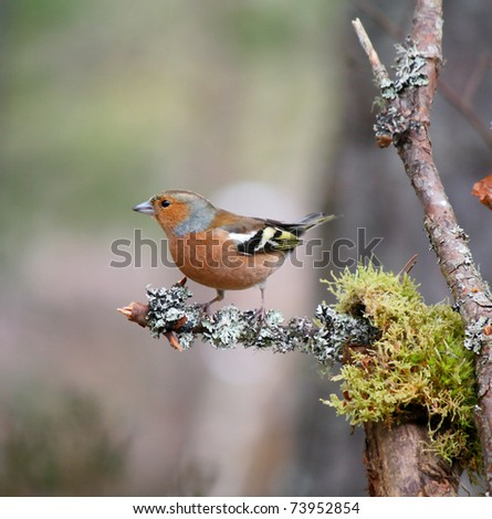 Chaffinch on lichen covered branch