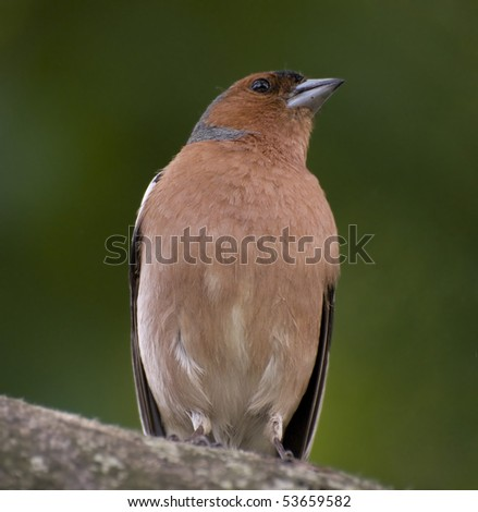 chaffinch on the tree