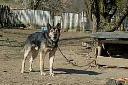 Chain dog in a rural area. Dog used to protect the farm. The dog barks and is chained.