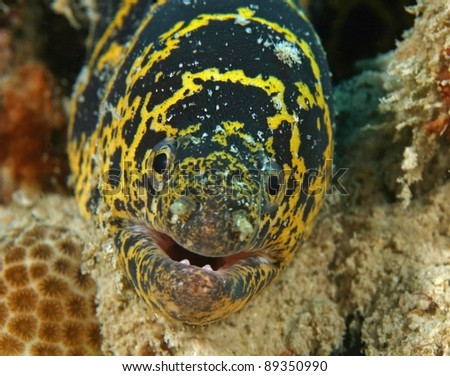 Chain Moray (Echidna catenata) -  Bonaire, Netherlands Antilles