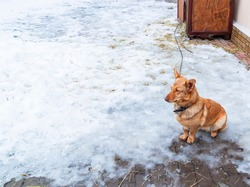 Chained orange rural mongrel sad dog sitting and watching in the yard of rural house in winter on the cold snow.