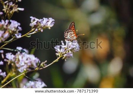 Chalcedon checkerspot butterfly  #787171390