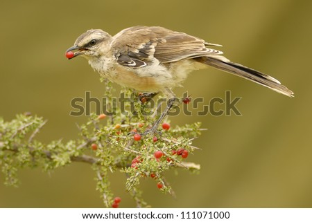 Chalk-browed Mockingbird eating a Piquillin-tree fruit in Patagonia, Argentina