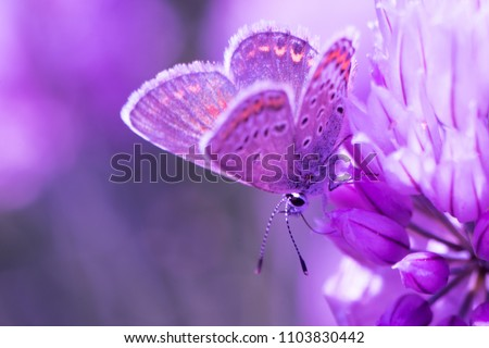 Chalkhill Blue Butterfly (Lysandra coridon) sitting on purple onion flower and feeding. Dreamy, romantic, elegant, artistic image of wild nature, close up macro. Shallow Selective focus,