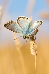 Chalkhill Blue butterfly, Polyommatus coridon, on a grass stem in a sunny meadow looking upwards with a diffuse straw-coloured background and a blue sky. Copy space, vertical image.