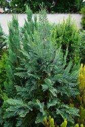Chamaecyparis lawsoniana 'Columnaris' in July. Chamaecyparis lawsoniana, known as Port Orford cedar or Lawson cypress, is a species of conifer in the genus Chamaecyparis, family Cupressaceae. Berlin