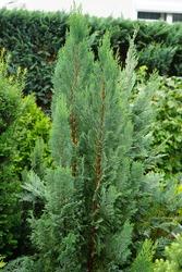 Chamaecyparis lawsoniana 'Ellwoodii' is a shrub with blue-green, scale-shaped leaves. Chamaecyparis lawsoniana, known as Port Orford cedar or Lawson cypress, is a species of conifer. Berlin, Germany