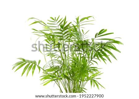 Chamaedorea Elegans isolated on white background. Parlour Palm, houseplant green leaves Stock fotó ©