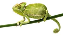 Chamaeleo calyptratus, female