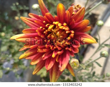 Chamanthi Flower Super Nice Nice