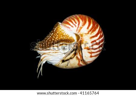 Chambered Nautilus (Nautilus Pompilius)  isolated on black